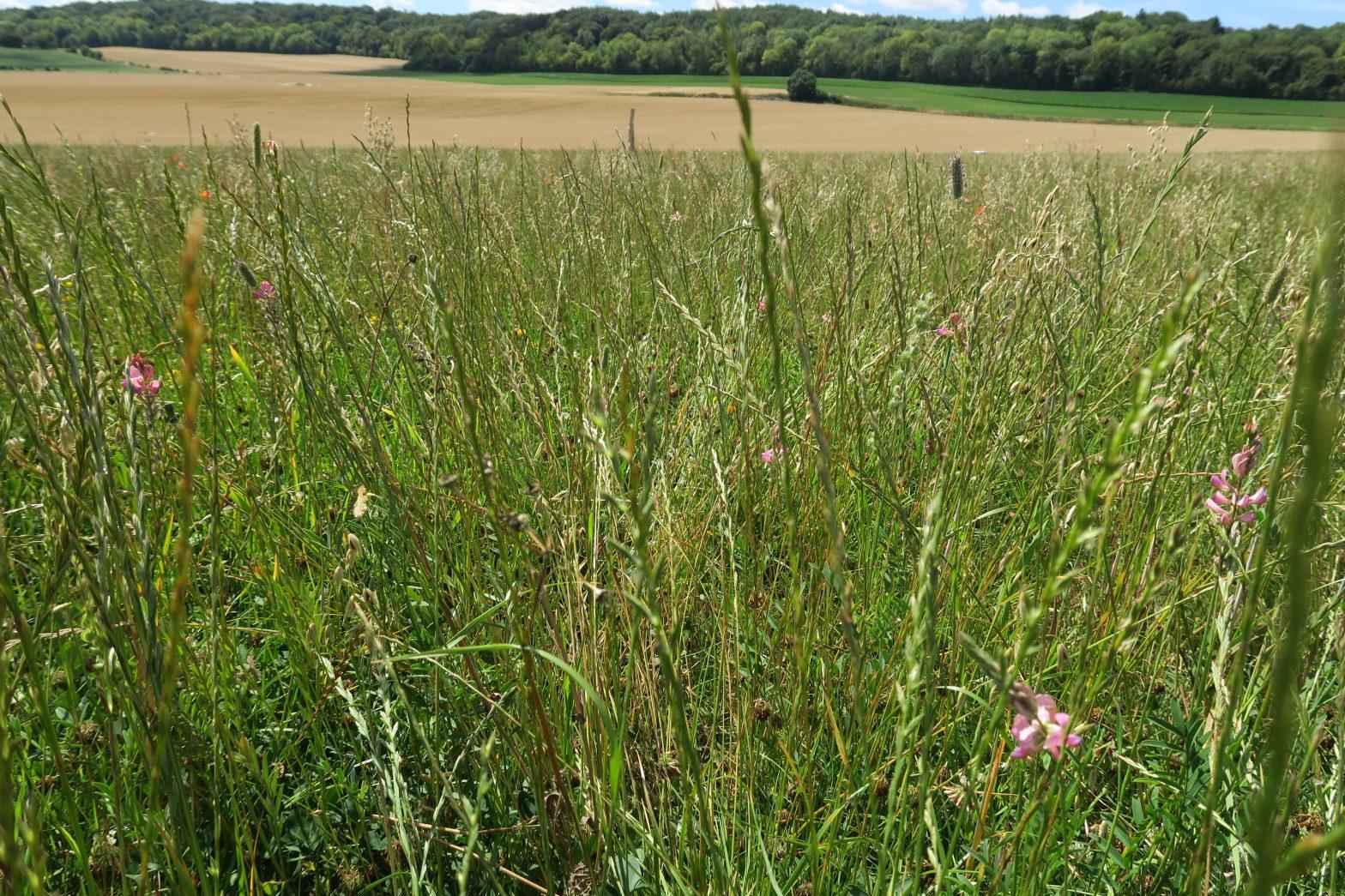 Des prairies multi-espèces pour s'adapter à la sécheresse