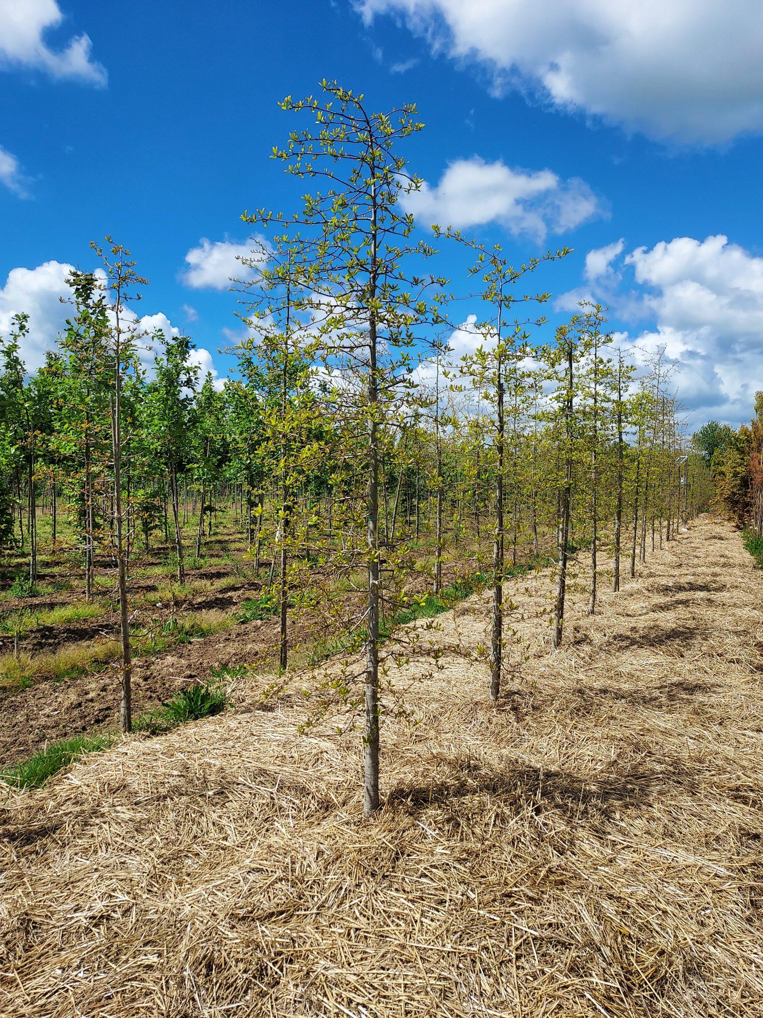 Le paillage à la paille : une alternative au glyphosate en viticulture et horticulture