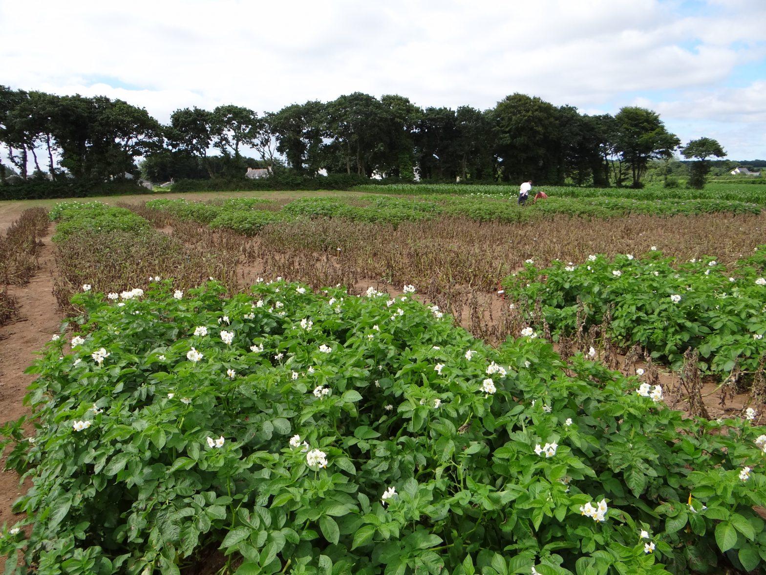 Variétés de pomme de terre tolérantes au mildiou